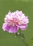 Flor rosada del peony fotografía de archivo libre de regalías