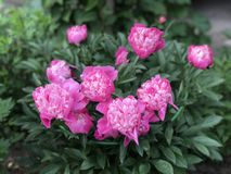 Flor rosada del peony Imágenes de archivo libres de regalías