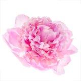 Flor rosada del peony Foto de archivo