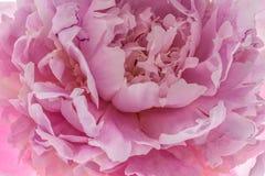 Flor rosada del peony Fotografía de archivo