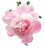 Flor rosada del peony Fotos de archivo libres de regalías
