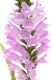 Flor rosada del Physostegia Imágenes de archivo libres de regalías