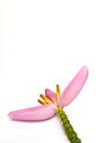 Flor rosada del plátano Fotografía de archivo libre de regalías
