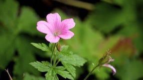 Flor rosada del prado Imagen de archivo