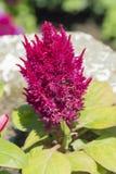 Flor rosada del primer Foto de archivo libre de regalías