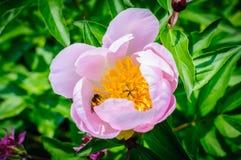 Flor rosada del primer de la peonía y de la abeja en el foco selectivo Imágenes de archivo libres de regalías