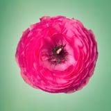 Flor rosada del ranúnculo en un fondo verde débil imagen de archivo libre de regalías