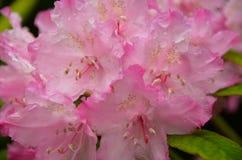 Flor rosada del rododendro Foto de archivo