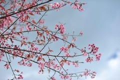 Flor rosada del sakula en día de verano del cielo azul Imagenes de archivo
