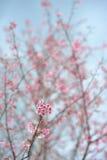 Flor rosada del sakula en día de verano del cielo azul Imagen de archivo