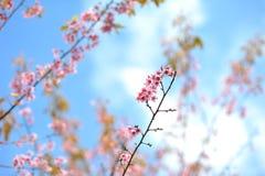 Flor rosada del sakula en día de verano del cielo azul Fotos de archivo