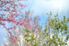 Flor rosada del sakula en día de verano del cielo azul Fotografía de archivo libre de regalías