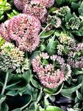flor rosada del sedum Imagen de archivo libre de regalías