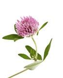 Flor rosada del trébol aislada Imágenes de archivo libres de regalías
