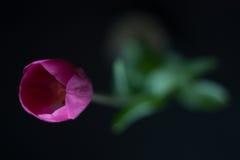 Flor rosada del tulipán Imagen de archivo