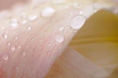 Flor rosada del tulipán con descensos del agua Imágenes de archivo libres de regalías