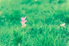 Flor rosada del tulipán de Tailandia foto de archivo libre de regalías