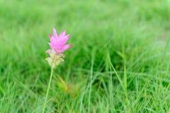 Flor rosada del tulipán de Tailandia foto de archivo
