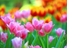 Flor rosada del tulipán Foto de archivo
