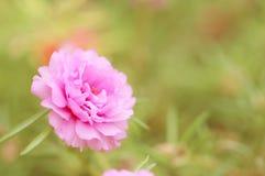 Flor rosada del vintage para el fondo imagen de archivo libre de regalías