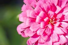Flor rosada del Zinnia. Imagen de archivo libre de regalías