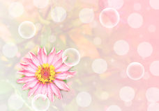 Flor rosada del Zinnia Imágenes de archivo libres de regalías