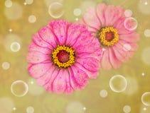 Flor rosada del Zinnia Foto de archivo libre de regalías