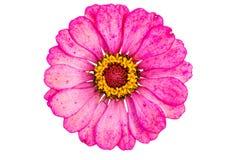 Flor rosada del Zinnia Imagenes de archivo