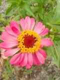 Flor rosada del Zinnia Imagen de archivo