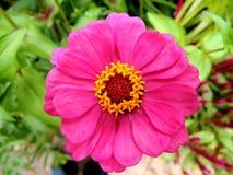 Flor rosada del Zinnia Fotografía de archivo