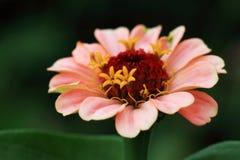 Flor rosada del Zinnia Imagen de archivo libre de regalías
