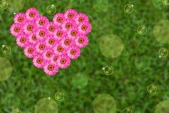 Flor rosada del zinnia del corazón Imagen de archivo