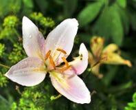 Flor rosada delicada con las gotas de agua en los pétalos Fotografía de archivo