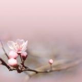 Flor rosada delicada del resorte. Imagen de archivo