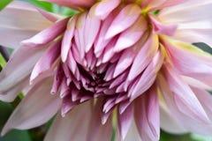 Flor rosada descolorada del crisantemo Imágenes de archivo libres de regalías