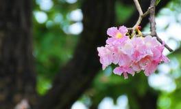 Flor rosada dulce de Tabebuia que florece en Tailandia Imagen de archivo libre de regalías