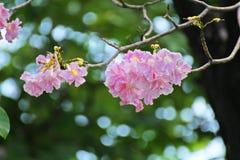 Flor rosada dulce de Tabebuia que florece en Tailandia Fotografía de archivo libre de regalías