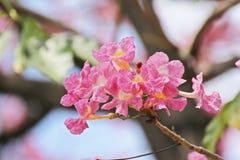 Flor rosada dulce de Tabebuia que florece en Tailandia Imagenes de archivo
