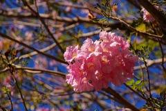 Flor rosada dulce de Tabebuia que florece en Tailandia Imágenes de archivo libres de regalías