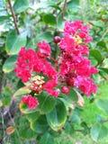Flor rosada en árbol del Lantana en un jardín durante verano Foto de archivo libre de regalías