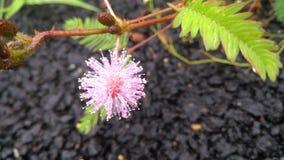 Flor rosada en Bangalore Fotos de archivo libres de regalías