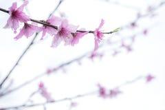 Flor rosada en blanco Imagenes de archivo