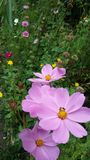 Flor rosada en Chiangmai Tailandia Fotos de archivo libres de regalías