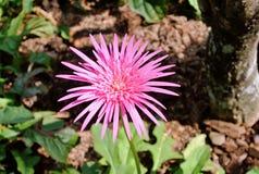 Flor rosada en el jardín Fotografía de archivo libre de regalías