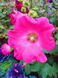Flor rosada en el jardín Fotos de archivo