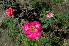 Flor rosada en el jardín con la hoja para la decoración Foto de archivo libre de regalías