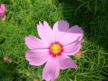 Flor rosada en el medio del campo Fotos de archivo
