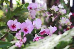 Flor rosada en fondo del jardín, flor rosada de la orquídea Imágenes de archivo libres de regalías