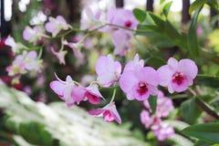 Flor rosada en fondo del jardín, flor rosada de la orquídea Foto de archivo libre de regalías