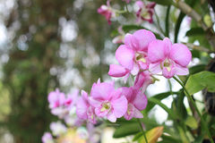 Flor rosada en fondo del jardín, flor rosada de la orquídea Fotos de archivo